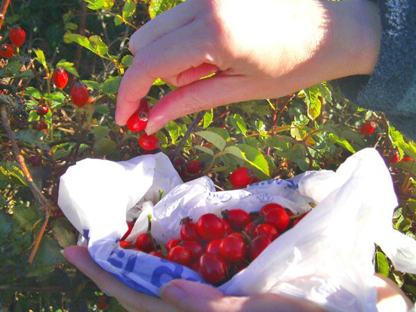 Cllecting rosehips in the countryside