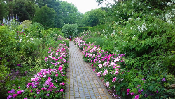 Stunning rose garden and the famous Kiftsgate rambler to the right.