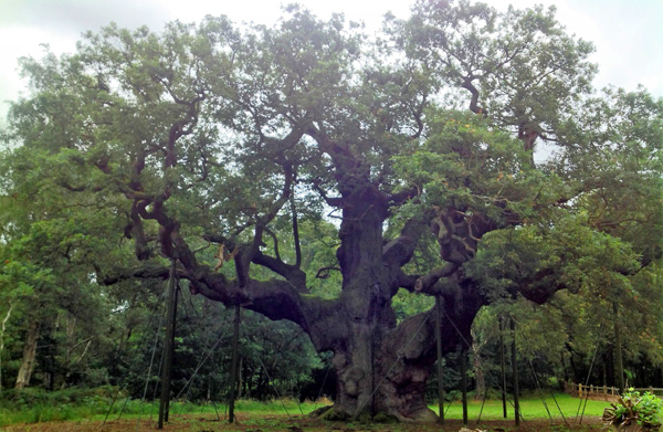 The grand Major Oak