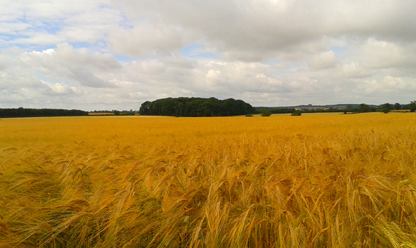 Wheat and barley fields around the village.