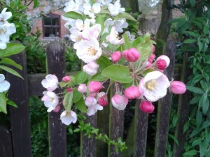 beautiful-apple-blossom