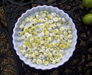 chamomile-flowers-from-the-garden-for-tea