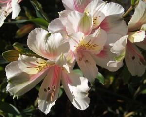 white-alstomerias-from-the-garden