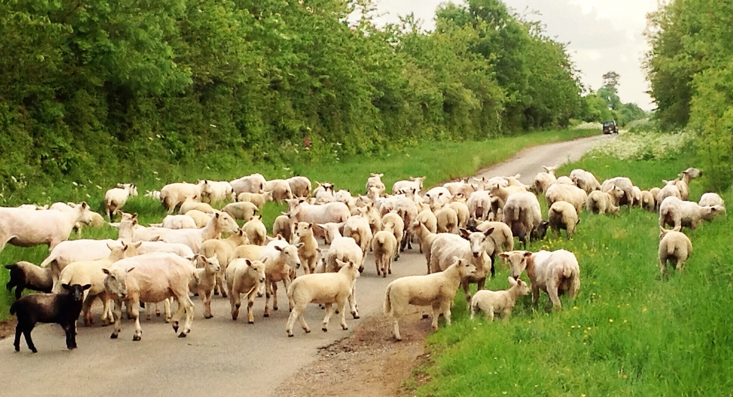 Moving the sheep from field to field