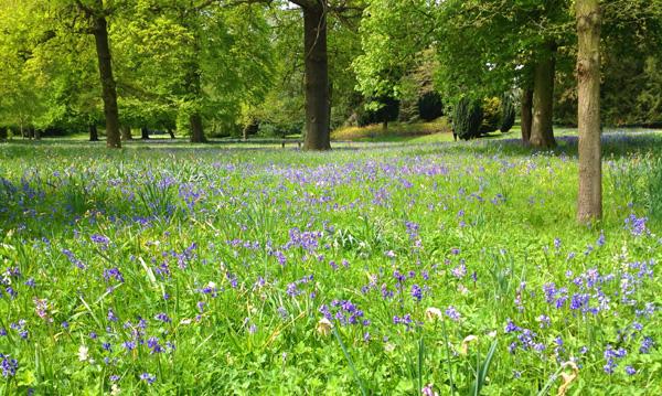 English bluebells flowering at Belton