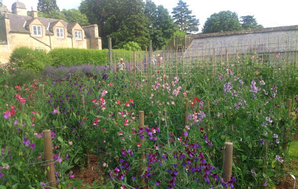 Easton Sweet Pea picking garden.