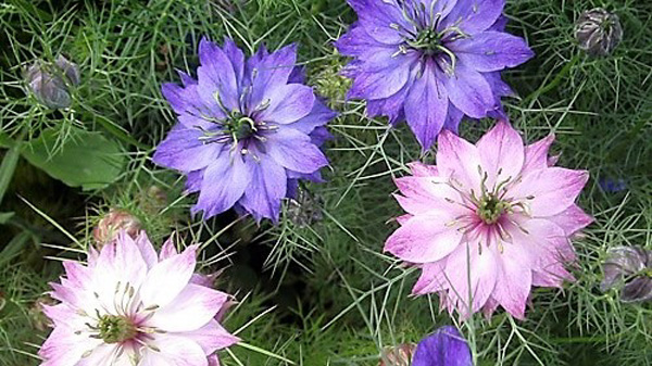 Nigella flowers to bring in the insects.