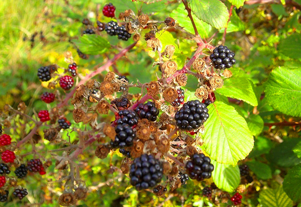 Picking wild berries for making jam