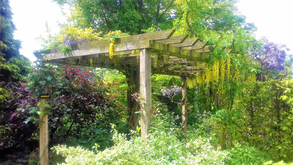 Beautiful laburnum pergola at Barnsdale