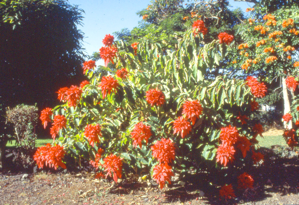 Wild Poinsettia in Mexico