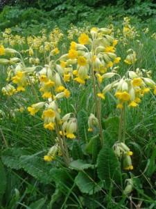 cowslips-in-the-wild