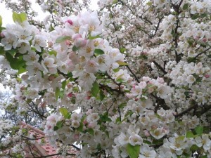 crab-apple-blossom