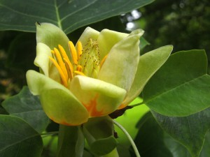 tulip-tree-at-stoke-rochford-hall